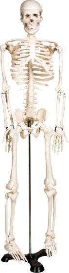 Modelo anatômico do esqueleto humano (850mm)