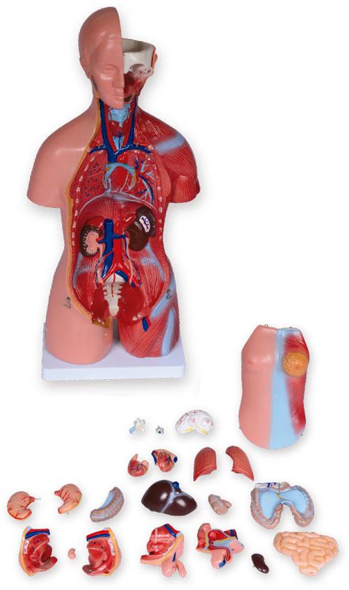 Modelo anatômico de torso bissexual (450mm)