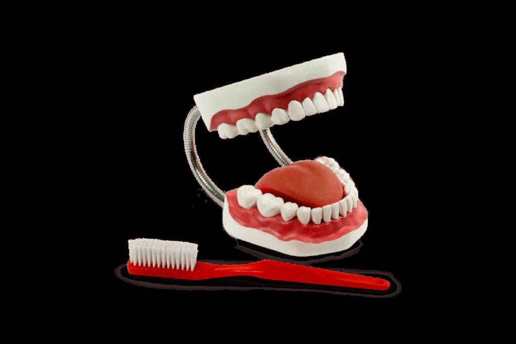 Modelo anatômico da arcada dentária