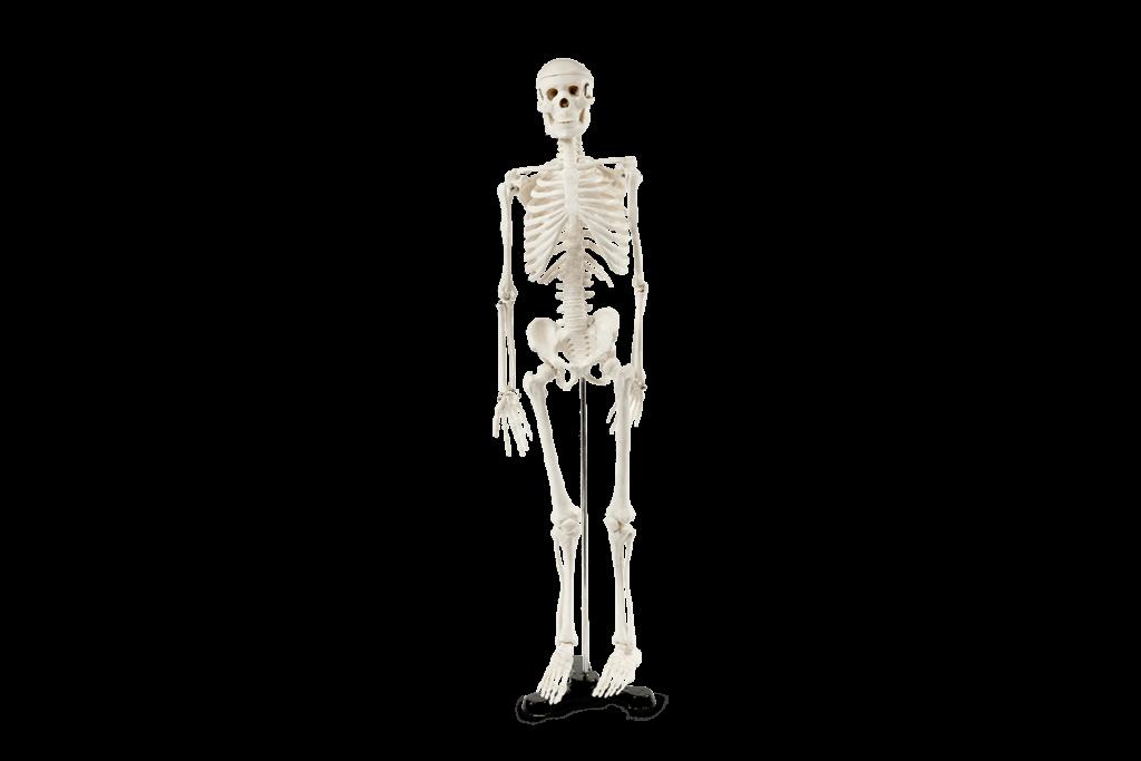 Modelo anatômico do esqueleto (850mm)